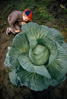 A Little Boy Is Dwarfed By A Supersized Cabbage In Matanuska Valley, Alaska, July 1959 | Bored Panda