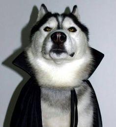 Lol. Siberian Husky Dracula