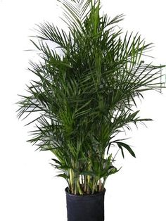 Bamboo Palm Among houseplants that remove pollutants from a home's indoor air, the bamboo palm (Chamaedorea sefritzii) is a star. These palm. Bamboo Palm, Bamboo Garden, Herb Garden, Outdoor Plants, Outdoor Gardens, Indoor Gardening, Container Gardening, Gardening Tips, Palm Plant