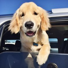 "1,364 Likes, 56 Comments - Teddy the Golden Pup (@lifewithteddy) on Instagram: ""Getting in all the sniffs on my road trip. #roadtripping"""