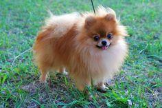 Brown Pomeranian Puppies