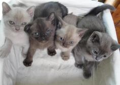 Fritz REALLY wants a baby sister. American Burmese in platinum, sable (Fritz), champagne and blue
