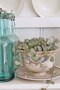 Heart vine plant would look fabulous in an antique cup, cracked, chipped or broken, not a perfect one.