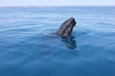 Read more about whale watching at Freedom Whale Watch. We share all the latest news and events related to whales to help you know more about them! Whale Watching, Whales, Great Photos, Freedom, The Past, Calm, Big, Animals, Liberty