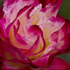 "Hybrid Tea Rose, ""Double Delight"". Huntington Gardens // photo by Sadja Herzog, 2011"