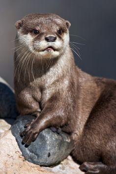 The otter king - Eurasian otter sunbathing.