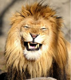 African Male Lion With a Jovial Smile. Laughing Animals, Smiling Animals, Majestic Animals, Animals And Pets, Baby Animals, Cute Animals, Pretty Cats, Beautiful Cats, Animals Beautiful