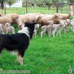 Rebaño de Ovejas Merinas ciudadas por el perro Pastor Cow, Animals, Cattle Dogs, Cattle, Animales, Animaux, Animal, Animais