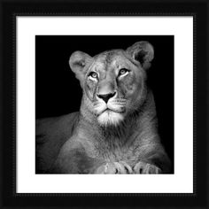 Portrait Of Lioness In Black And White Framed Print By Lukas Holas
