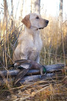 Labrador Retriever Yellow labrador duck hunting with a drake American wigeon - Golden Retriever, Labrador Retriever Dog, Yellow Labrador Retrievers, Rottweiler Puppies, Labrador Puppies, Corgi Puppies, Waterfowl Hunting, Working Dogs, Nova Scotia