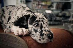 Discover The Affectionate Great Dane Pups And Kids Big Dogs, I Love Dogs, Cute Dogs, Weimaraner, Baby Animals, Cute Animals, Dane Puppies, Doggies, Dog Grooming Business