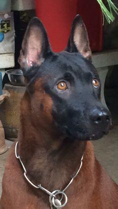 My lovely dog Big Dog Breeds, Rare Dog Breeds, Beautiful Dogs, Animals Beautiful, Cute Puppies, Cute Dogs, Dutch Shepherd Dog, Animals And Pets, Cute Animals