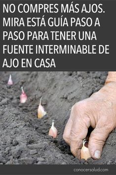 NO COMPRES AJOS. Mira está guía paso a paso para tener una fuente interminable de ajo en casa - Conocer Salud Gardening Zones, Container Gardening, Gardening Tips, Garden Care, Edible Garden, Green Life, Garden Planters, Growing Vegetables, Garden Projects