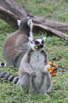Ringtail Lemur enjoying a treat