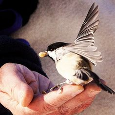 Jack Laisi feeds nuts to a chickadee at Hawrelak Park on Nov. 13, 2012 in Edmonton, Alberta.  I use to do this in Maine.