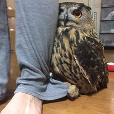 Owl hides behind its owner whenever there is a visitor in the house : aww