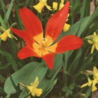 En enda blossande botanisk tulpan räcker för att sprida vårglädje i trädgården. Se så fint eldrött är tillsammans med gult! Planer för friland 2014