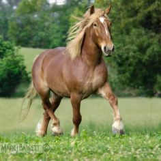My favorite animal is the Belgian Draft Horse. I love many creatures, but my heart has to go to Phillipe. :)