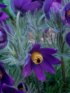 Pasqueflower  One of the first flowers to wake up in the spring, pasqueflower bears lovely silvery foliage and cheery purple blooms. It has an extended season of interest thanks to its graceful seed heads that remain showy through early summer. Allow it to reseed and it will establish a small -- non-aggressive -- colony in your garden.  Name: Pulsatilla patens  Growing Conditions: Full sun and well-drained soil  Size: To 1 foot tall  Zones: 4-9