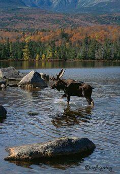 cbee2c7e54388e3517e662383042e202 state parks maine moose in maine moose, animal and lakes