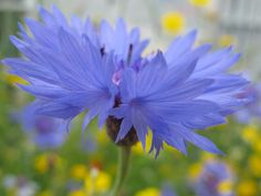 Profile of a cornflower