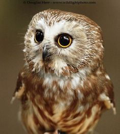 Baby owl - pleading eyes