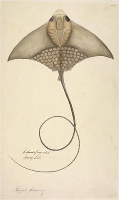 Illustration of a beautiful ray from The British Library