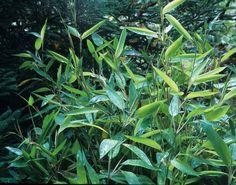 Zig Zag Bamboo  -  Outstanding Qualities Zig-zag bamboo is one of the finest small garden bamboos. The evergreen, almost teardrop-shaped leaves are arranged in a zig-zag pattern along each stem. It is a compact grower and a very slow spreader, not becoming rampant in the garden. Zig-zag bamboo maintains its best color in part to full shade, providing and interesting texture to a shady landscape. It is extremely resistant to the unsightly damage of bamboo mites.