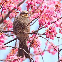 【koara0325】さんのInstagramをピンしています。 《寒緋桜はヒヨドリさん♪の天下でした(笑)  #桜#寒緋桜 #荏原神社#ig_collection_flowers#flowerstalking #flowerlovers #floweroftheday #ic_flowers #japan_daytime_view #wu_japan#team_jp_ #ig_nippon #igersjp #icu_japan #jp_views2nd#lovers_nippon #ig_japan#ig_cameras_united#loves_nippon#ig_nihon#japanfocus#ig_gallery #rsa_nature_birds #bestbirdshots#ic_animals_birds#nuts_about_birds #ig_collection_birds #bd_birds #loves_birds》