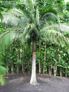 Satakentia liukiuensis (Satake Palm) - native to Japan - grows to 18m