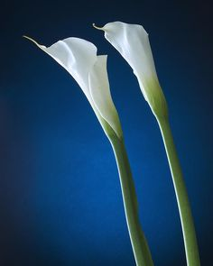 Calla Lily On Blue - Prints available from Fine Art America #Blue symbolizes trust, wisdom, intelligence, faith, truth, quiet, peace and serenity.