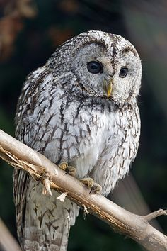 }{  Perched gray owl