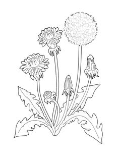Skull Coloring Pages, Coloring Books, Dandelion Tattoo Design, Flower Line Drawings, Dandelion Flower, Hand Embroidery, Embroidery Patterns, Thread Art, Linocut Prints