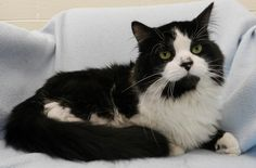 This handsome boy is appropriately named Poofy and he's available for adoption at TAS South!