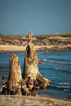 Dauphin Island Stumps