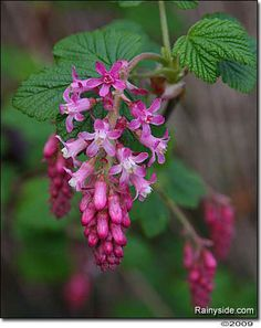 Ribes sanguineum glutinosum 'Claremont' PINK FLOWERING CURRANT attracts hummingbirds like no other shrub in late winter to early spring.
