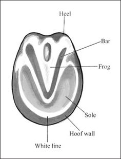 Parts of the hoof.