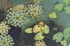 Mosaic Plant and Water Snowflake / ミニハナビシとガガブタ by sakichin, via Flickr
