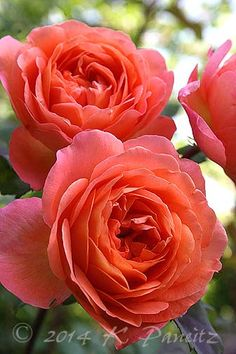 ~Bright young blooms of rosa 'Lady Emma Hamilton'
