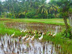 7/27(水)バリ島ウブドのお天気は晴れ。室内温度26.9℃、湿度73%。昨晩はすごい雨でしたが、今朝はキラキラの太陽が昇ってきてくれましたよー。雨を浴びアヒル隊は嬉しそう♪