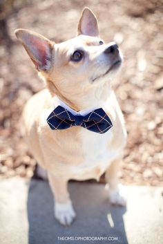 Little bow tie! We have to find one for habol to wear! :0)