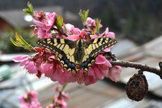 Farfalla Macaone - null