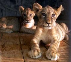 Lion babies, sorry, couldn't resist @Heidi Wilson!