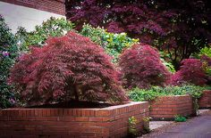 Buy Ever Red Japanese Maple Online. Arrive Alive Guarantee. Free Shipping On All Orders Over $99. Immediate Delivery.