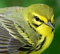 Prairie Warbler 10 Most Beautiful Species of Tennessee Birds | Smoky Mountain Travel Guide