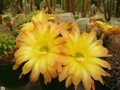 Huge Echinopsis flowers  These are the biggest echinopsis hybrid flowers I have ever seen!