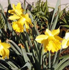 Make Even More Organic Natural Yellow Fabric Dyes: Daffodil