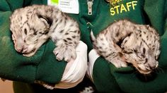 Look at these adorable snow leopard triplets born at the Seattle zoo.  There's a whole slideshow here.