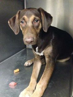 #WVIRGINIA #URGENT #GassingShelter - Marie ID 2274 is a Hound mix #puppy dog in…