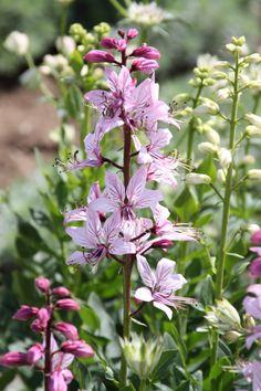 Dictamnus albus - Vuurwerkplant